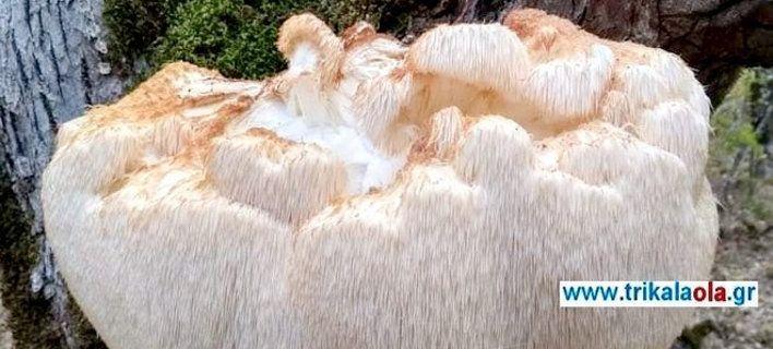 Σπάνιο είδος άγριου μανιταριού βρέθηκε στα Τρίκαλα -Ζυγίζει 5,5 κιλά [εικόνες]