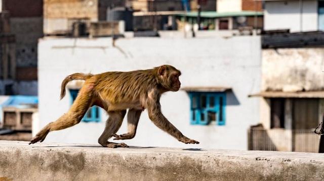 Μαϊμούδες σκότωσαν 72χρονο πετώντας του τούβλα από δέντρο