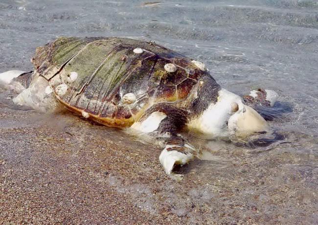 Νεκρή χελώνα καρέτα -καρέτα βρέθηκε στις Αυκές
