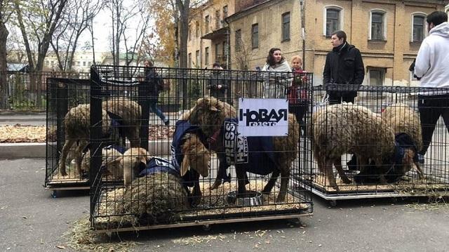 Ρωσία: Κλουβιά με πρόβατα, άφησαν άγνωστοι έξω από γραφεία αντιπολιτευόμενης εφημερίδας