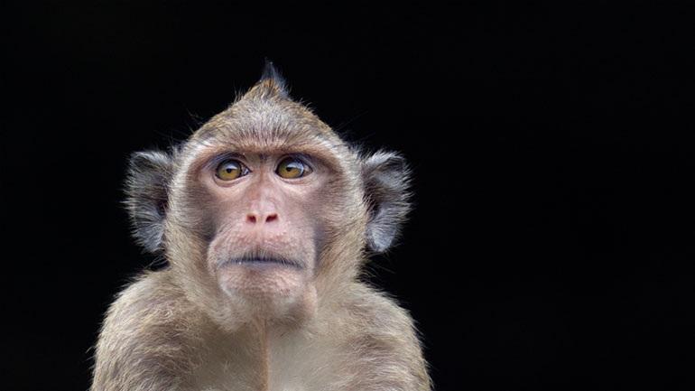 Οι ΗΠΑ χρησιμοποιούν ως πειραματόζωα περισσότερες μαϊμούδες από ποτέ