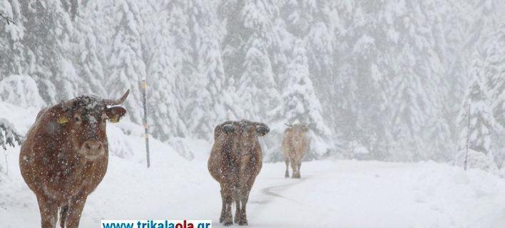 Αγελάδες βγήκαν στους χιονισμένους δρόμους των Τρικάλων και έφαγαν το... αλάτι [εικόνες]