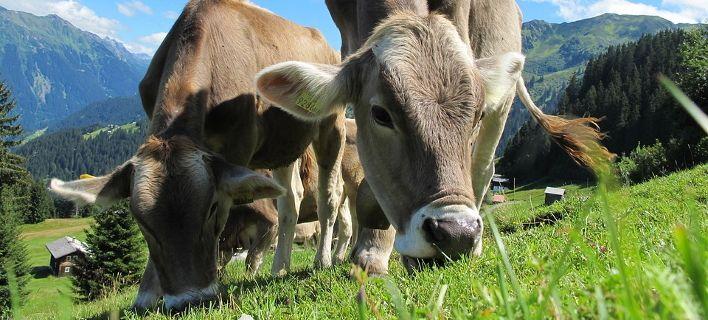 Οι Ελβετοί κάνουν δημοψήφισμα για... ψύλλου πήδημα: Αγελάδες με κέρατα ή χωρίς;