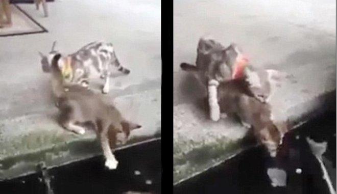 Ψάρι επιτίθεται σε γάτα. Βγαίνει από το νερό και την αρπάζει!