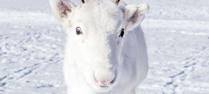 Σπάνιος λευκός τάρανδος εντοπίστηκε στην Νορβηγία