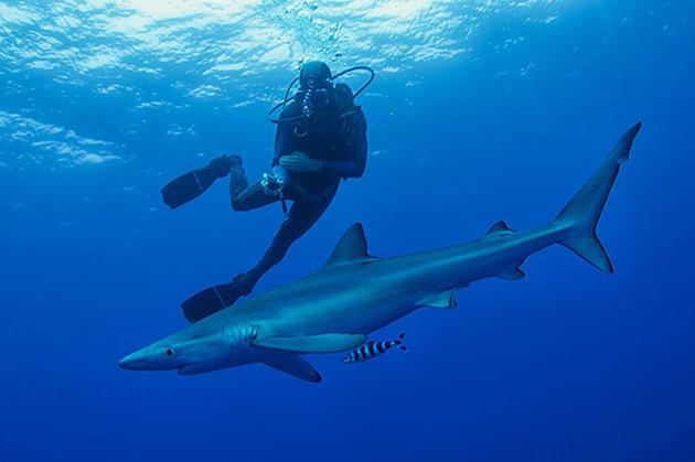 Kαρχαρίας επιτέθηκε και τραυμάτισε σοβαρά σέρφερ στις ακτές της Αυστραλίας