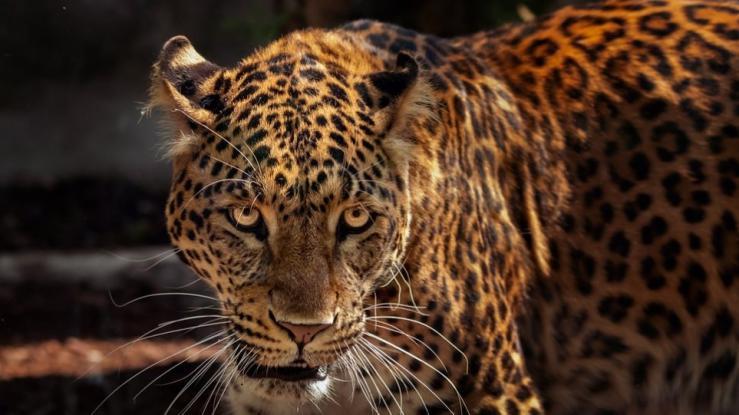 H πρώτη αντίδραση του ιδιοκτήτη του Αττικού Ζωολογικού Πάρκου για τη θανάτωση των τζάγκουαρ