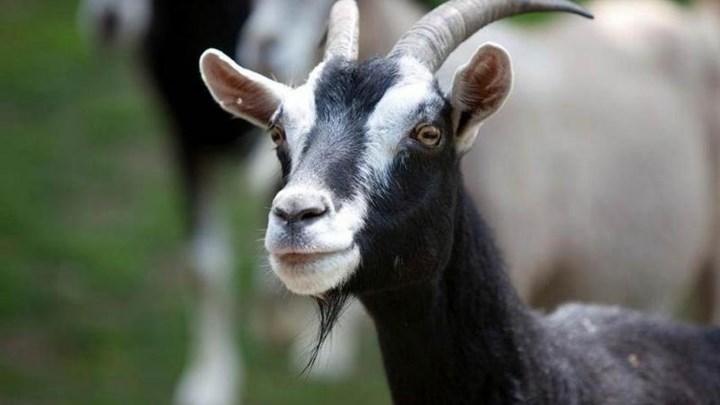 Κατηγορούμενος για κτηνοβασία υποστηρίζει ότι το έκανε με την άδεια της κατσίκας