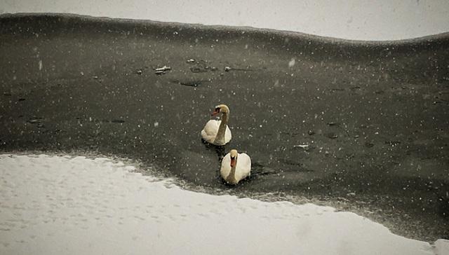 Οι πάπιες κάνουν πατινάζ στην παγωμένη λίμνη της Καστοριάς [εικόνες]