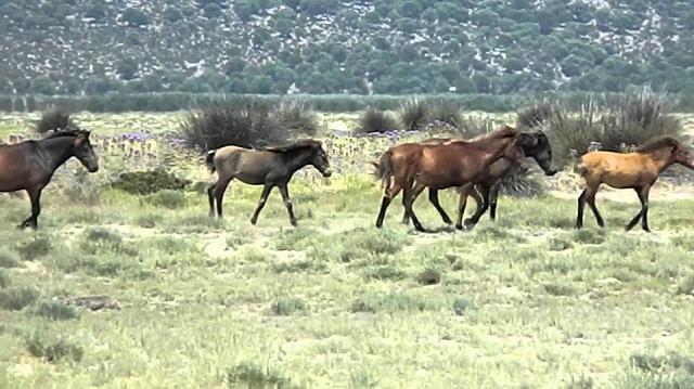 Πυροβόλησαν και σκότωσαν προστατευόμενα άγρια άλογα στον Στράτο Αιτωλοακαρνανίας