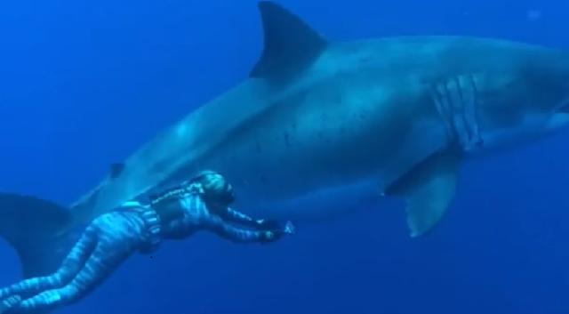 Δύτες κολύμπησαν δίπλα σε λευκό καρχαρία - γίγα στη Χαβάη [εικόνες]