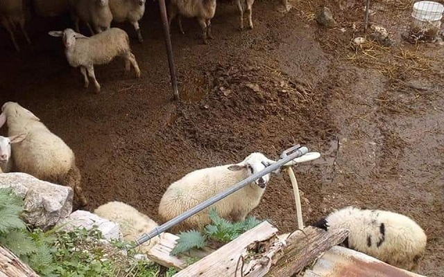 Εξι μήνες φυλακή σε κτηνοτρόφο για κακοποίηση των ζώων του