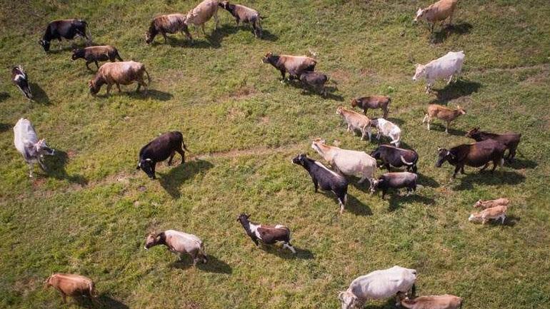 Καρπενήσι: «Συνέλαβαν» αδέσποτες αγελάδες που αναστάτωσαν ένα ολόκληρο χωριό