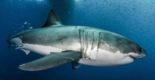 Το μυστικό κατά του καρκίνου πίσω από αποκωδικοποιημένο DNA λευκού καρχαρία