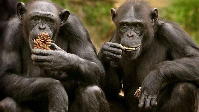 Χιμπατζήδες απέδρασαν από ζωολογικό κήπο με αυτοσχέδια σκάλα