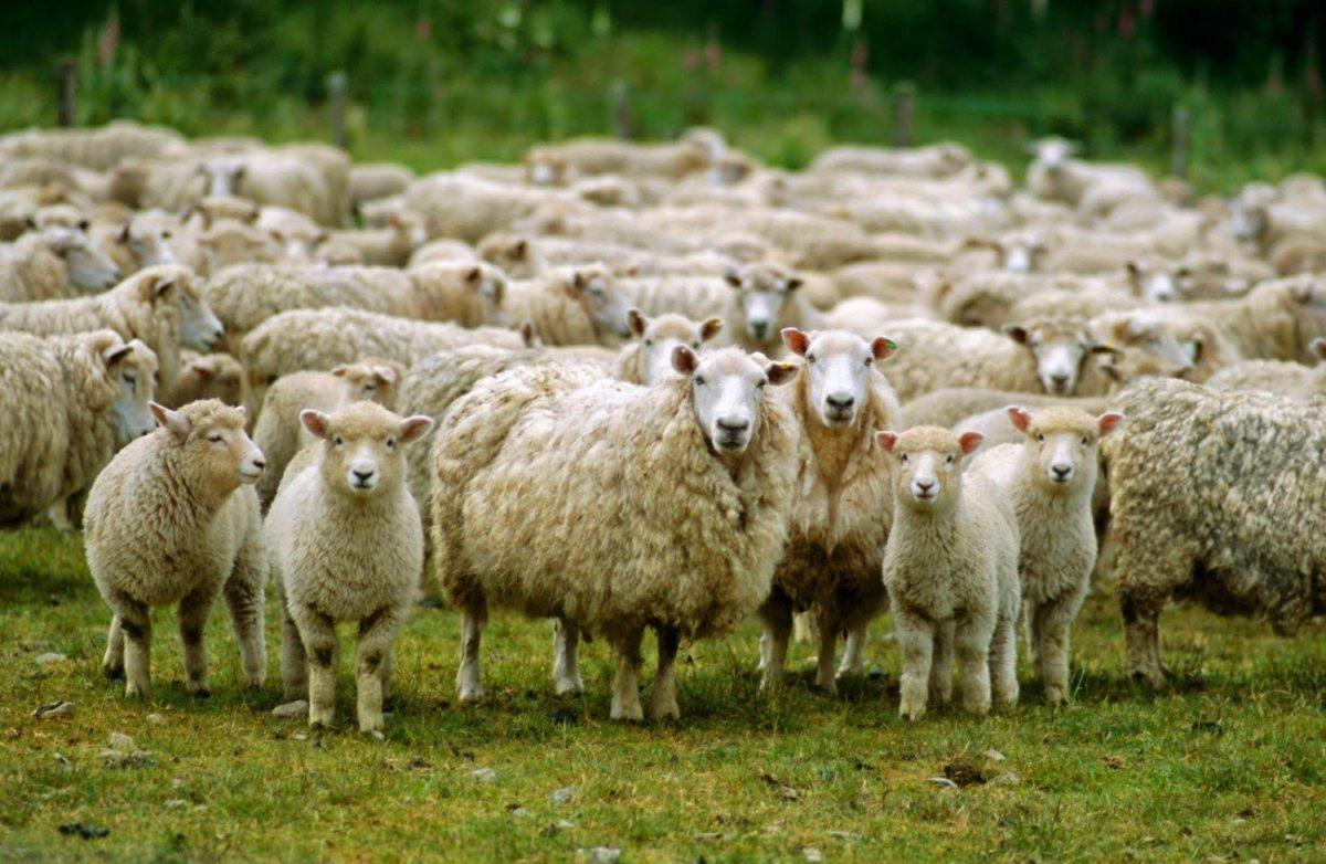 Βγάζουν σε πλειστηριασμό… 200 πρόβατα