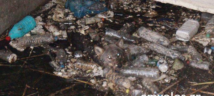 Καρέ- καρέ η επιχείρηση για τη διάσωση λύκου στην Ημαθία