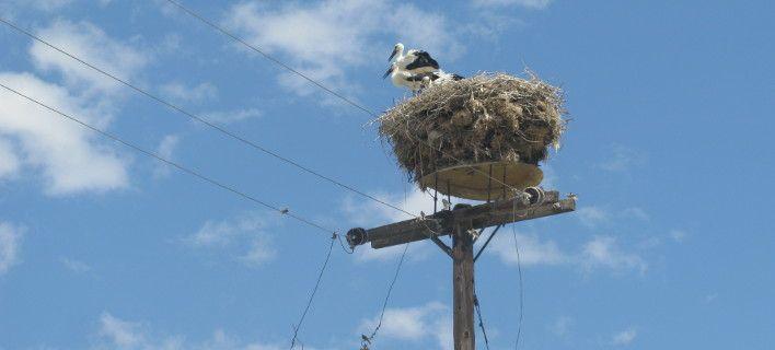Στην Πιερία οι περισσότερες ενεργές φωλιές πελαργών. Επιστρέφουν κάθε χρόνο [εικόνες]