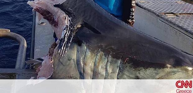 Μυστήριο με γιγάντιο αποκεφαλισμένο καρχαρία που βρέθηκε στο νερό