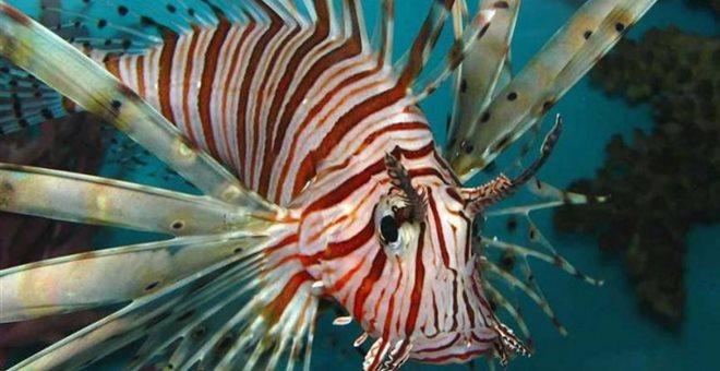 Γέμισαν με τα επικίνδυνα λεοντόψαρα οι θάλασσες της Κύπρου