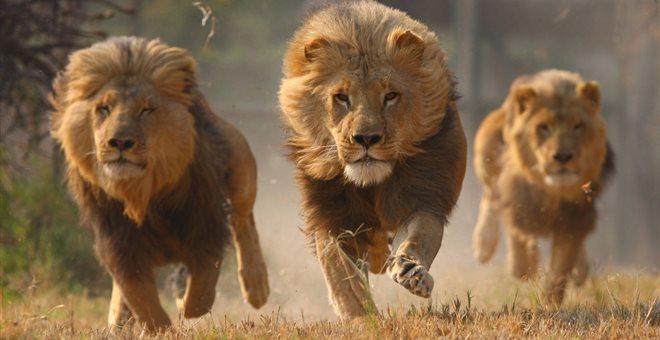 Η εκδίκηση του ελέφαντα: Ποδοπάτησε λαθροκυνηγό τον οποίο στη συνέχεια έφαγαν λιοντάρια