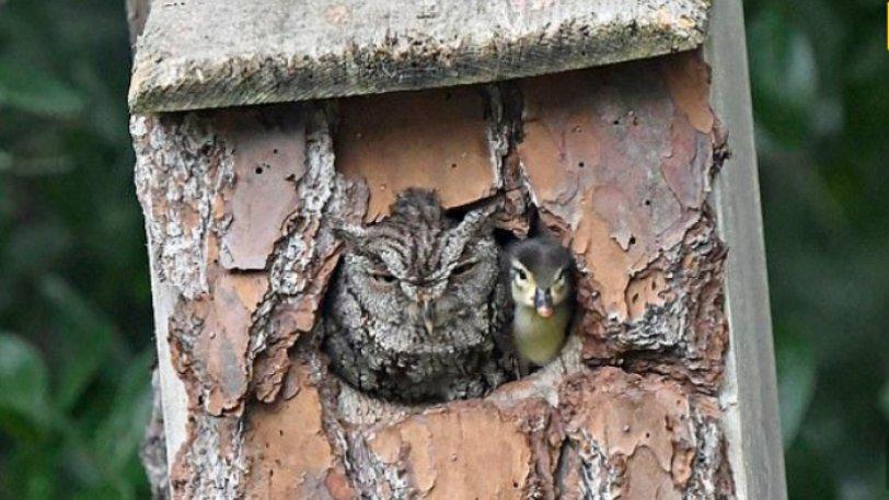 Κουκουβάγια υιοθέτησε παπάκι επειδή μπέρδεψε τα αυγά στην φωλιά της
