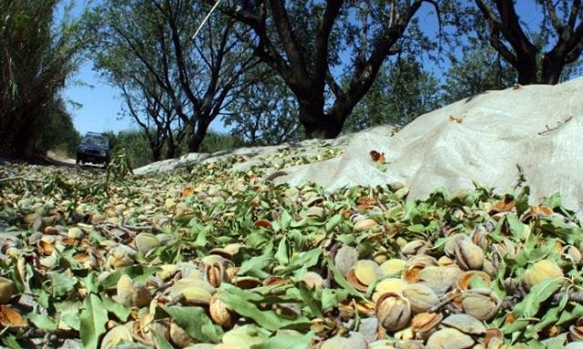 Ξεκίνησε η καταγραφή ζημιών στην αμυγδαλοπαραγωγή σε Μαγνησία και Λάρισα