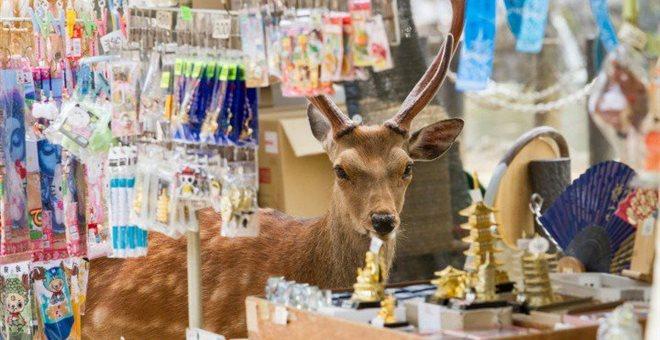 Ιαπωνία: Ελάφια κάνουν βόλτες μέσα στην πόλη και χαζεύουν βιτρίνες