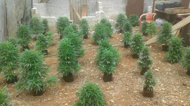 Ισοβίτης δραπέτευσε και καλλιεργούσε χασισόδεντρα
