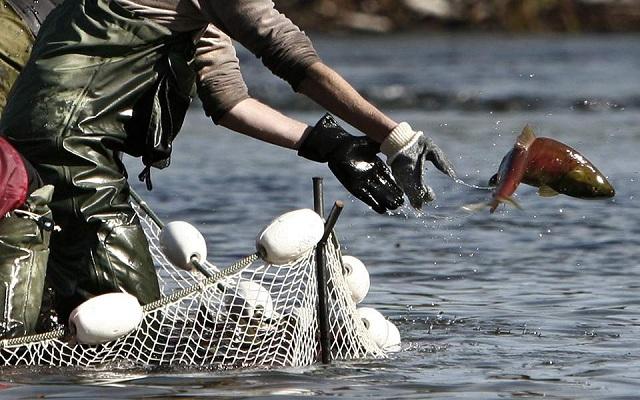 Σε συναγερμό η Νορβηγία: Τοξικό φύκι «σκοτώνει» εκατομμύρια σολομούς εκτροφής