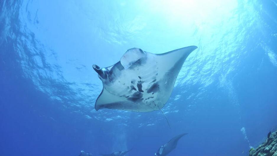 Σπάνιο σαλάχι εντοπίστηκε στα νερά της Ινδονησίας
