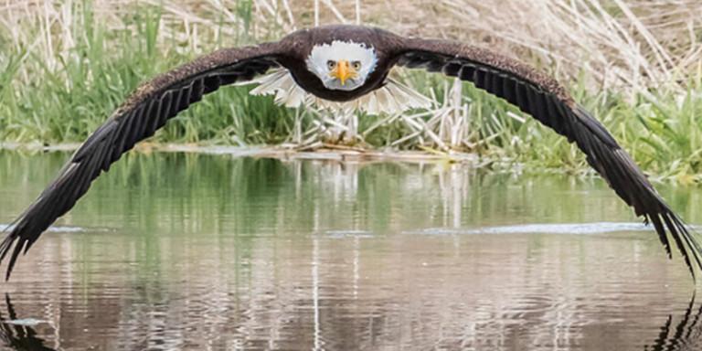 Η φωτογραφία ενός καραφλού αετού που έγινε viral