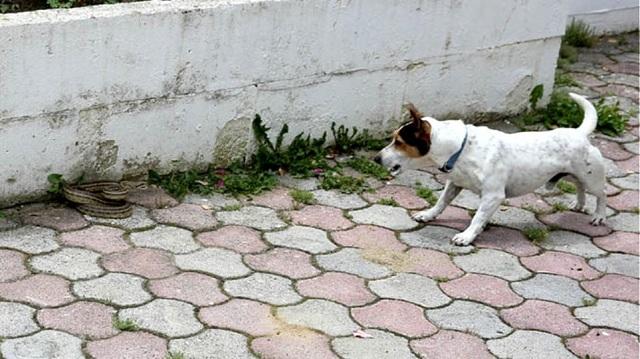 Γενναίο σκυλάκι έσωσε τα αφεντικά του από φίδι