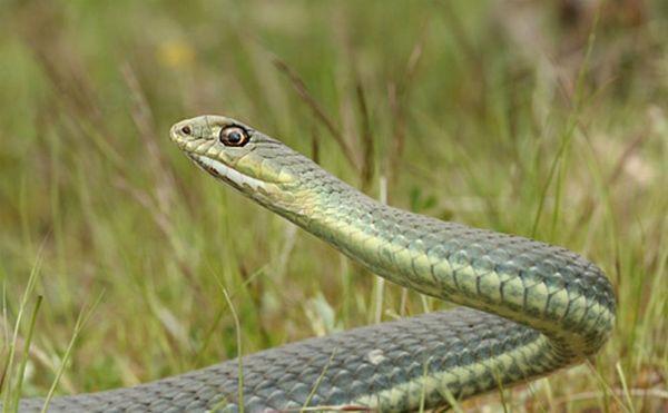 Φίδι σουλατσάριζε στο κέντρο του Βόλου