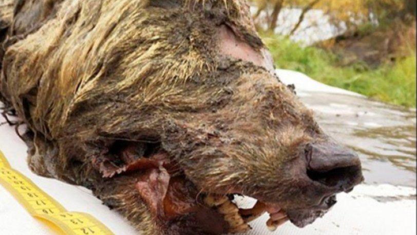 Βρέθηκε γιγαντιαίο κεφάλι προϊστορικού λύκου 40.000 ετών