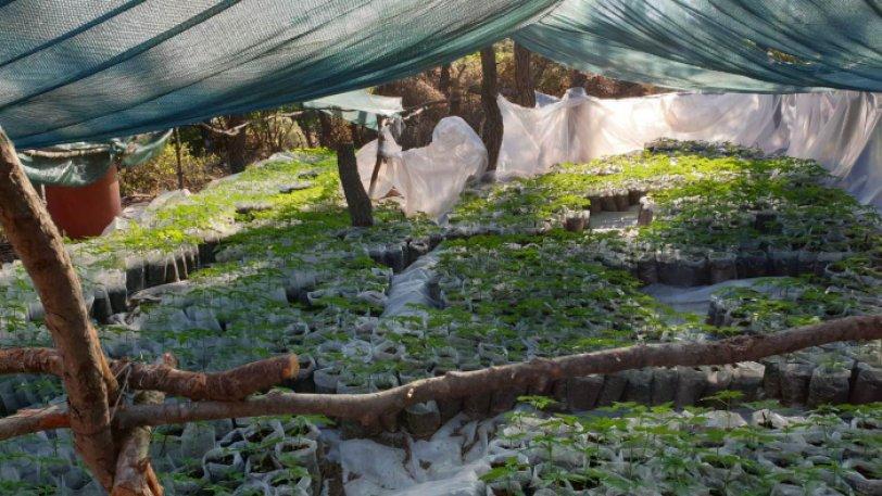 Βρήκαν χασισοφυτεία - μαμούθ: Καλλιεργούσαν χιλιάδες δενδρύλια αξίας 6 εκ. ευρώ