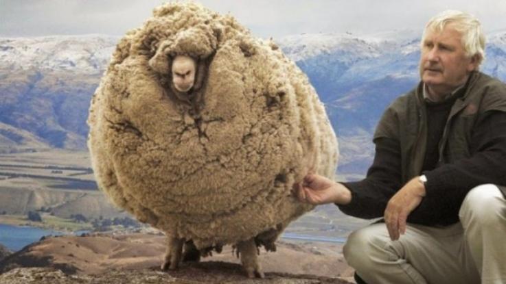 Πρόβατο - κατεργάρης κρυβόταν επί 6 χρονια για να μην το κουρέψουν