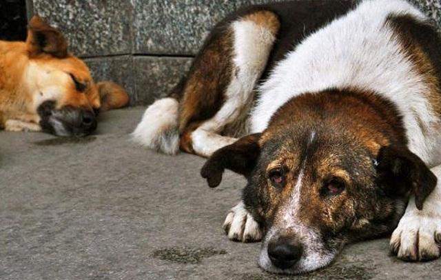 Έριξαν φόλες σε αδέσποτα σκυλιά στην Κριθαριά