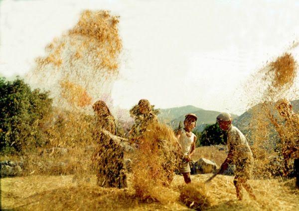 Αναπαράσταση αλωνίσματος του σιταριού