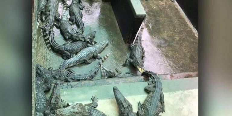 Φρίκη στην Καμπότζη: Kροκόδειλοι έφαγαν ζωντανό δίχρονο κοριτσάκι