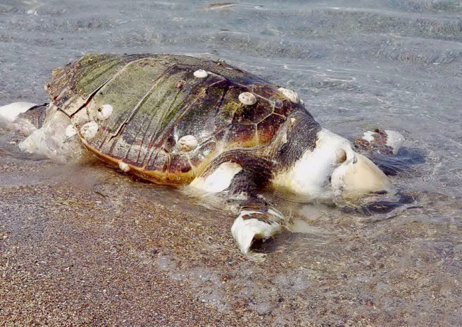 Βρέθηκε νεκρή χελώνα καρέτα -καρέτα στον Πτελεό