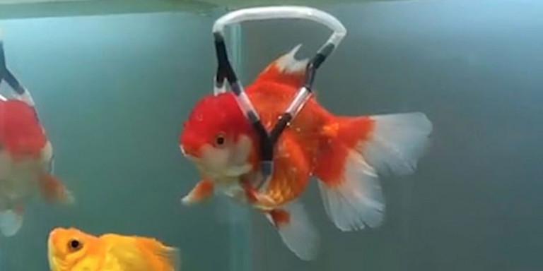 Εφτιαξε «αναπηρικό καροτσάκι» στο χρυσόψαρο του που δεν μπορούσε να κολυμπήσει