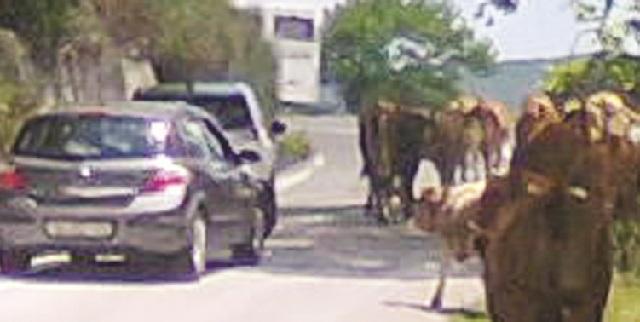 Αγελάδες προκάλεσαν... μποτιλιάρισμα στο δρόμο προς Χάνια