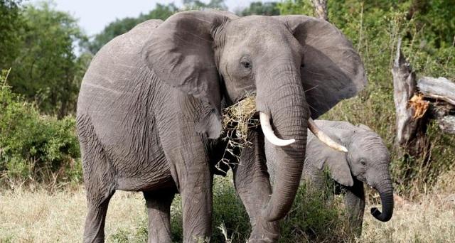 Πήραν 8,8 τόνους ελεφαντόδοντου από 300 αφρικανικούς ελέφαντες [εικόνα]
