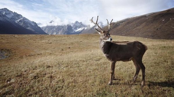 Αρκτική 200 τάρανδοι βρέθηκαν νεκροί από την πείνα λόγω κλιματικής αλλαγής