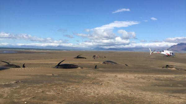 Ισλανδία: Εκβράσθηκαν 50 φάλαινες - πιλότοι δεύτερη φορά σε 2 εβδομάδες