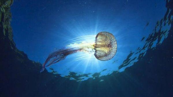 Εμφανίστηκαν τσούχτρες σε θάλασσες της Μαγνησίας