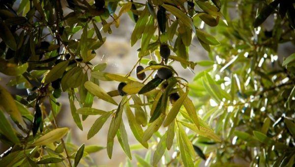 Πλούσιες εκδηλώσεις για τη γιορτή ελιάς στη Δράκεια που ολοκληρώνεται τις επόμενες μέρες