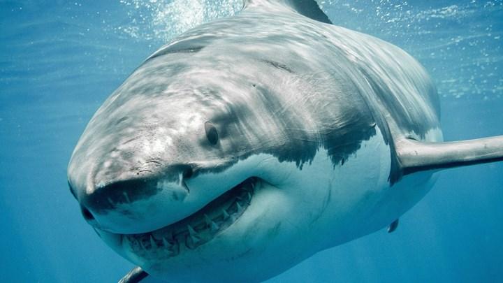 Μασαχουσέτη - Περισσότεροι από 300 λευκοί καρχαρίες στις παραλίες