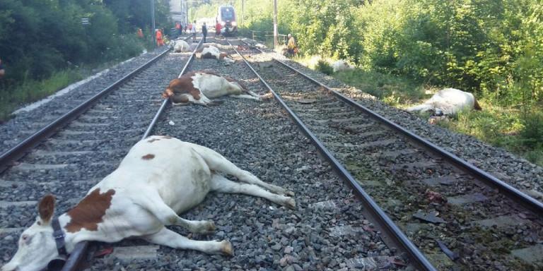 Τρένο στη Γαλλία «χτύπησε» κοπάδι με 60 αγελάδες